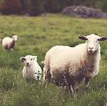 Schafwolle im Sommer - Ein echter Allrounder